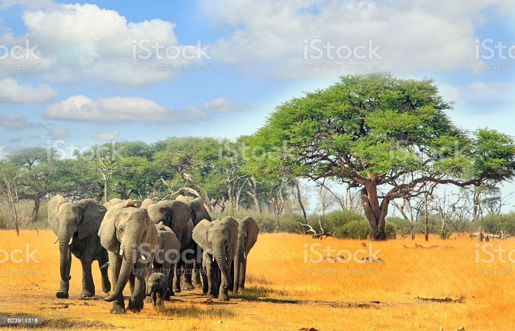 Herd of elephants with a blue cloudy sky and trees stock photo