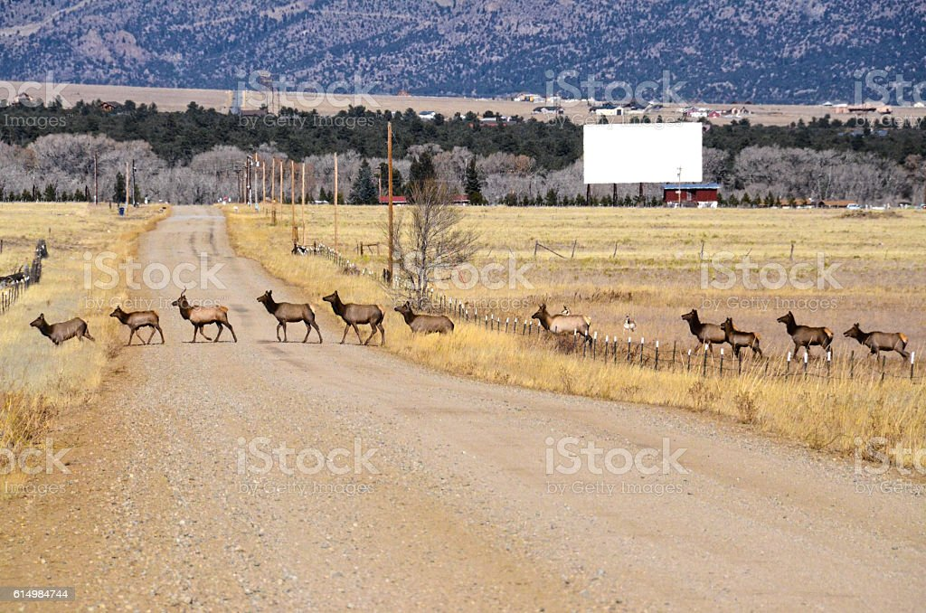 Herd of Elk Crossing the Road stock photo