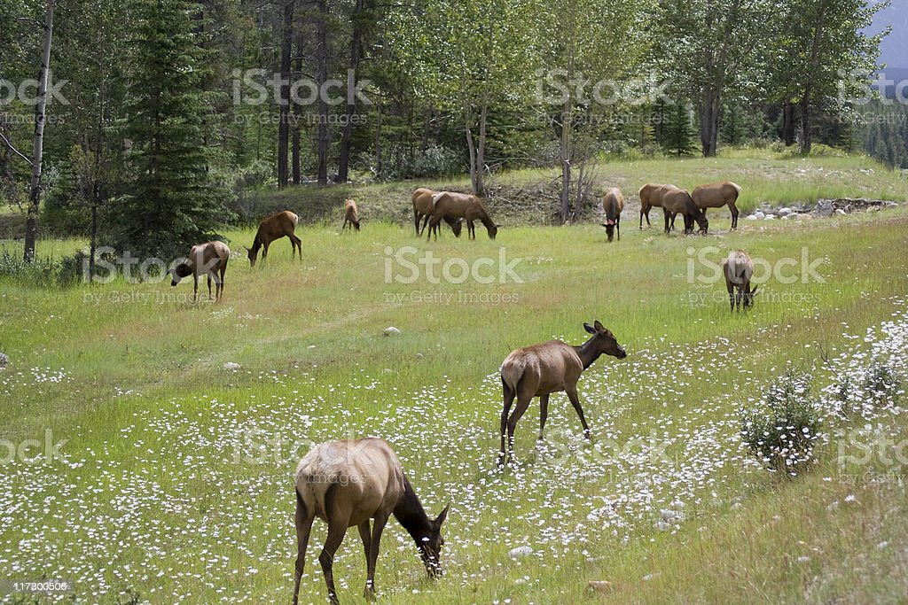 Herd of elk grazing on a meadow royalty-free stock photo