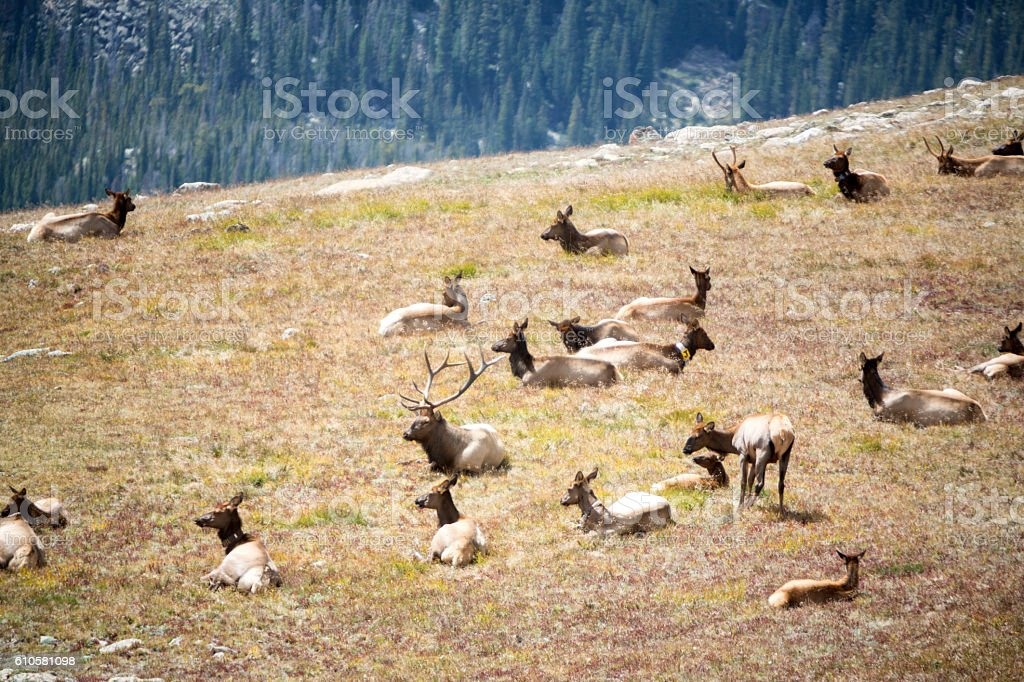 Herd of Elk in Colorado stock photo