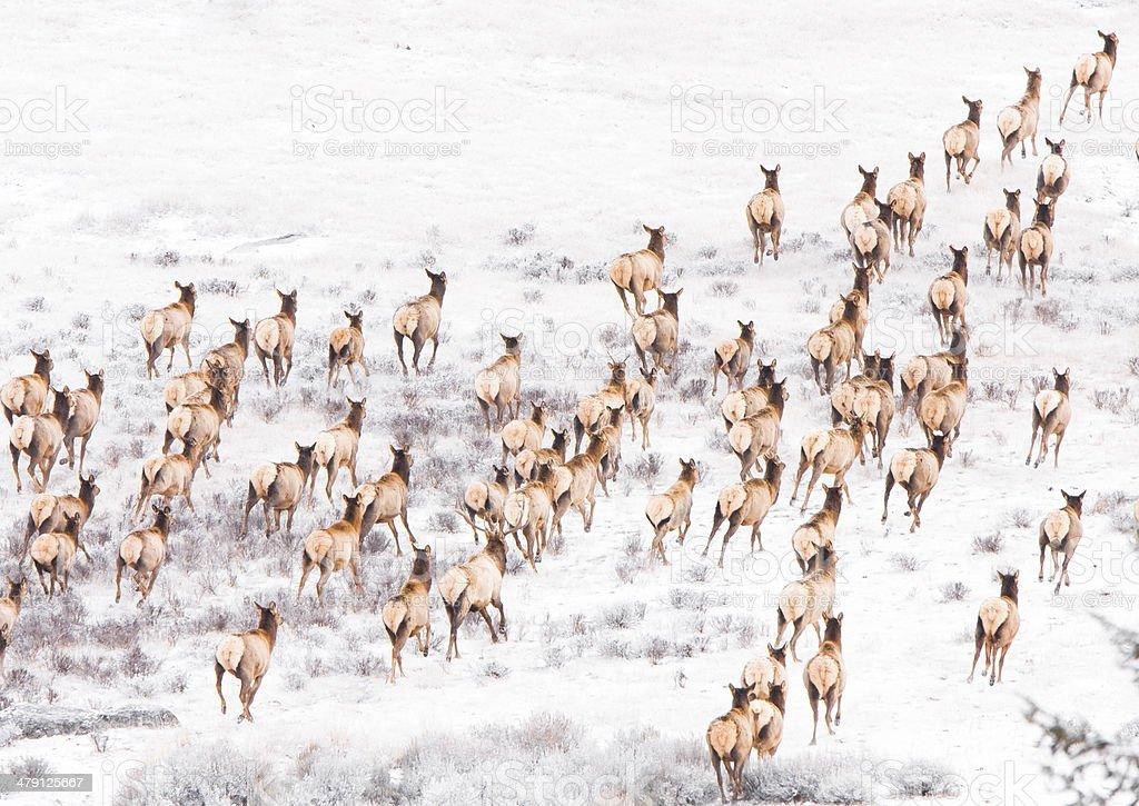 Herd of elk running. stock photo