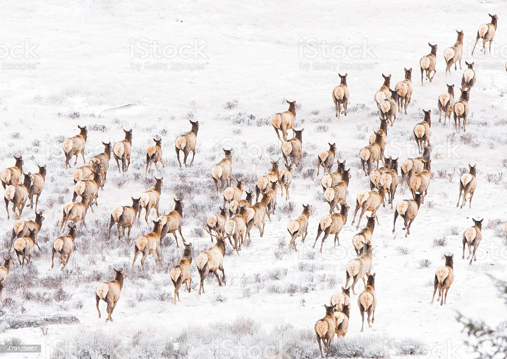 Herd of elk running. stock photo