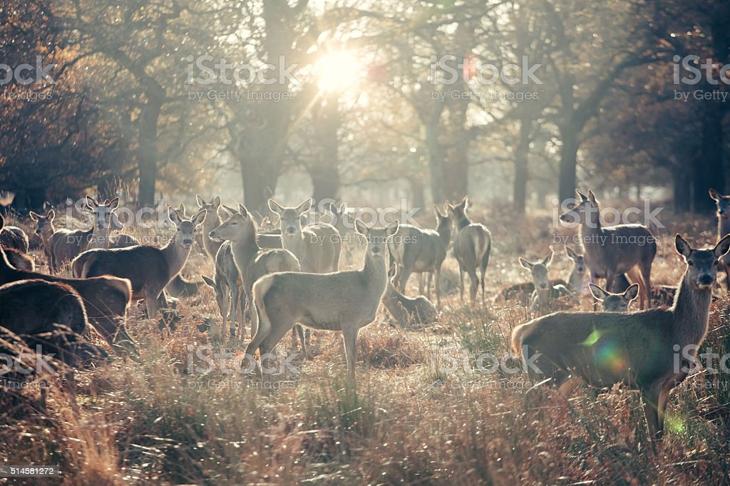 Herd of female deers stock photo