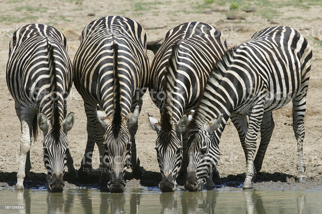 herd of four zebra drinking at water, heads down royalty-free stock photo