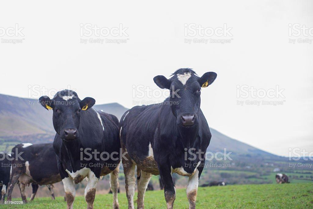 Herd of Friesian cattle stock photo