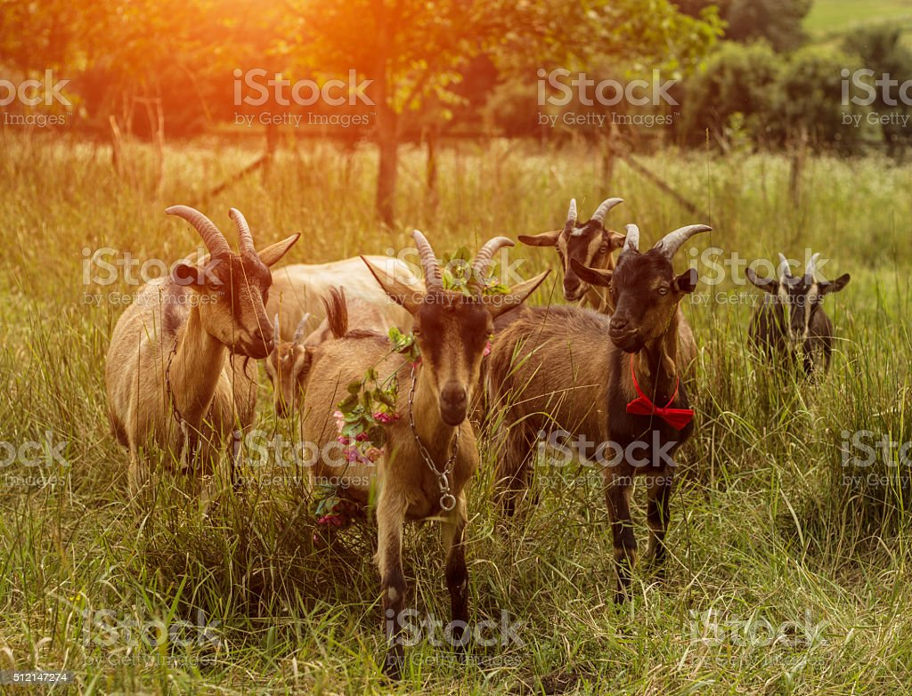 herd of funny goats stock photo