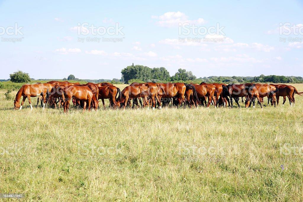 Herd of gidran horses eating fresh green grass stock photo