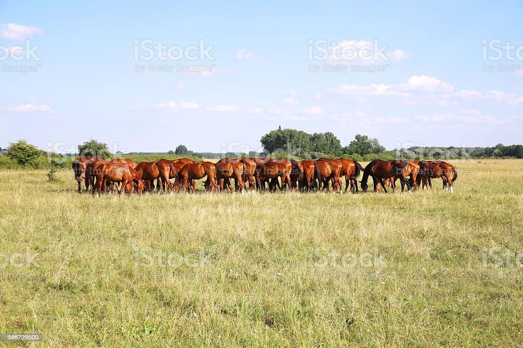 Herd of gidran horses eating fresh green grass summertime stock photo