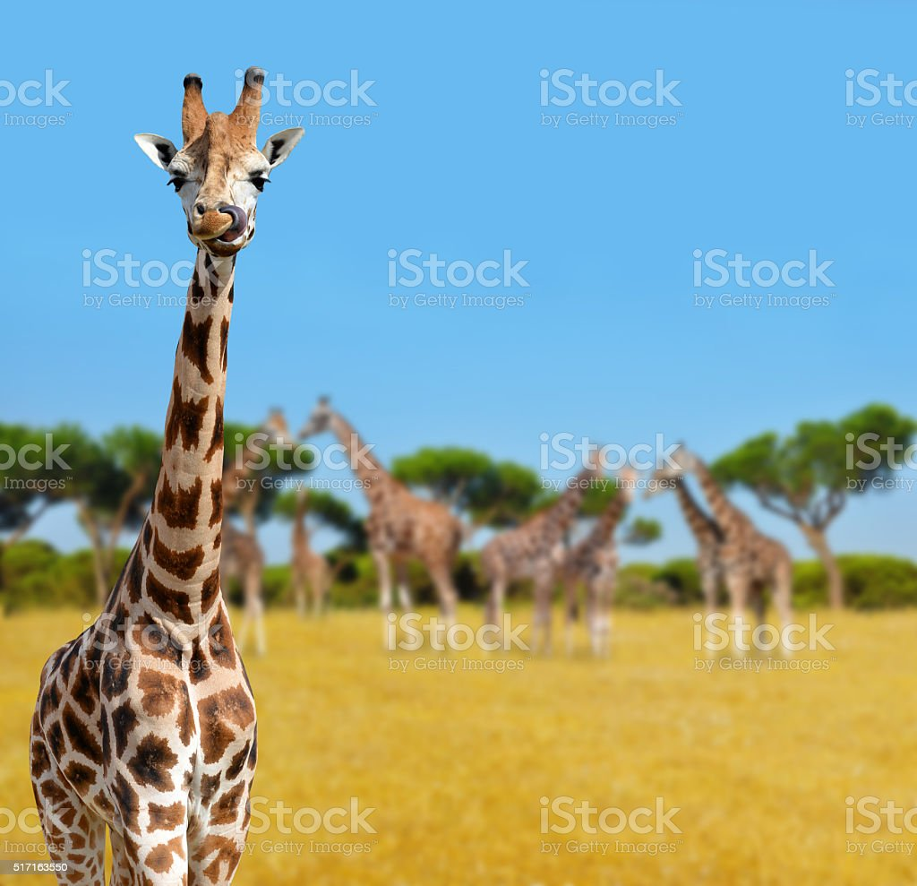 Herd of giraffes stock photo