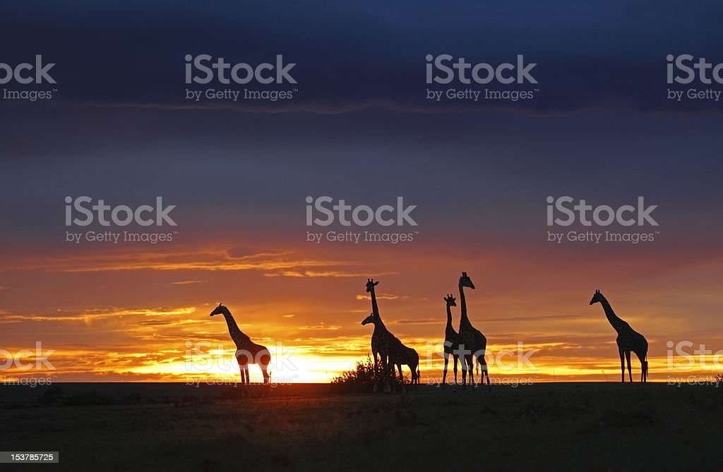 herd of gireaffes in the sunset stock photo