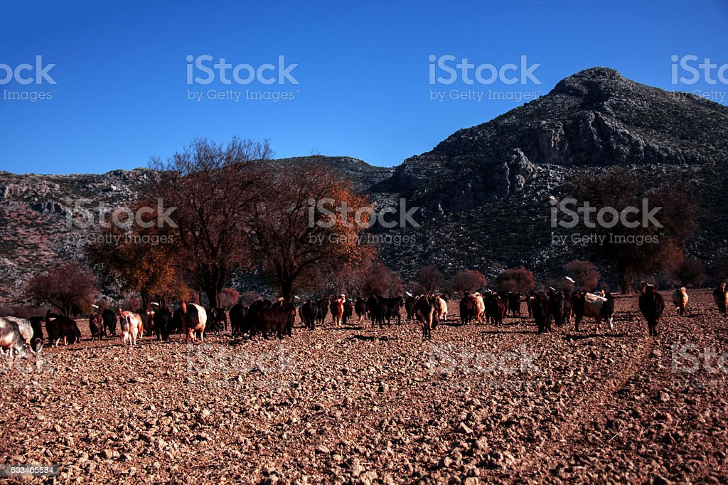 Herd of goats and trees. stock photo