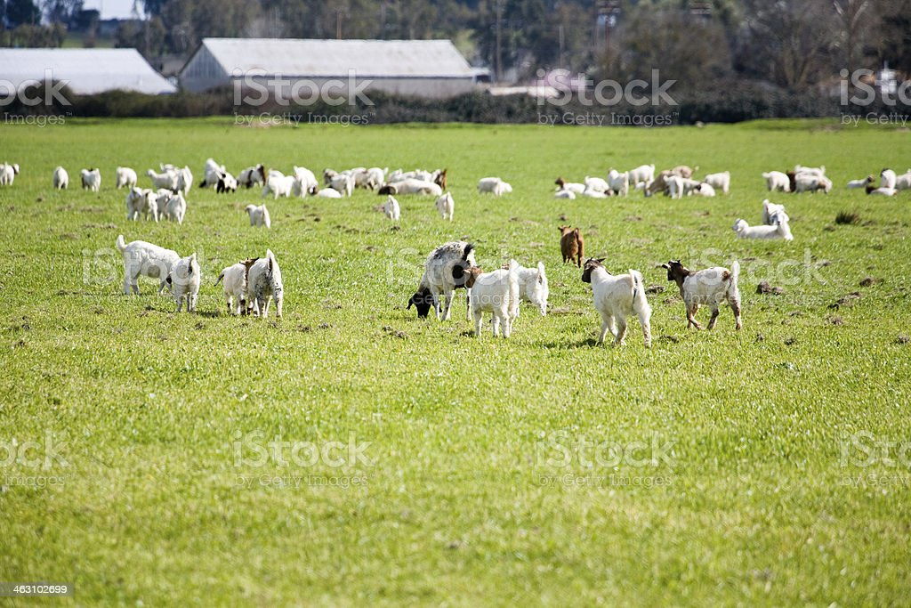 Herd of Goats in a green field stock photo