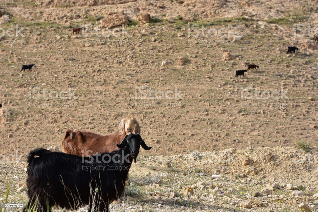 Herd of goats in mountainous terrain stock photo