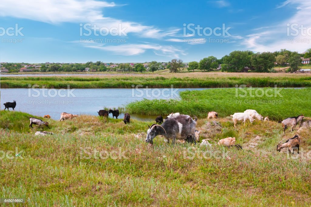 Herd of goats on green meadow. stock photo