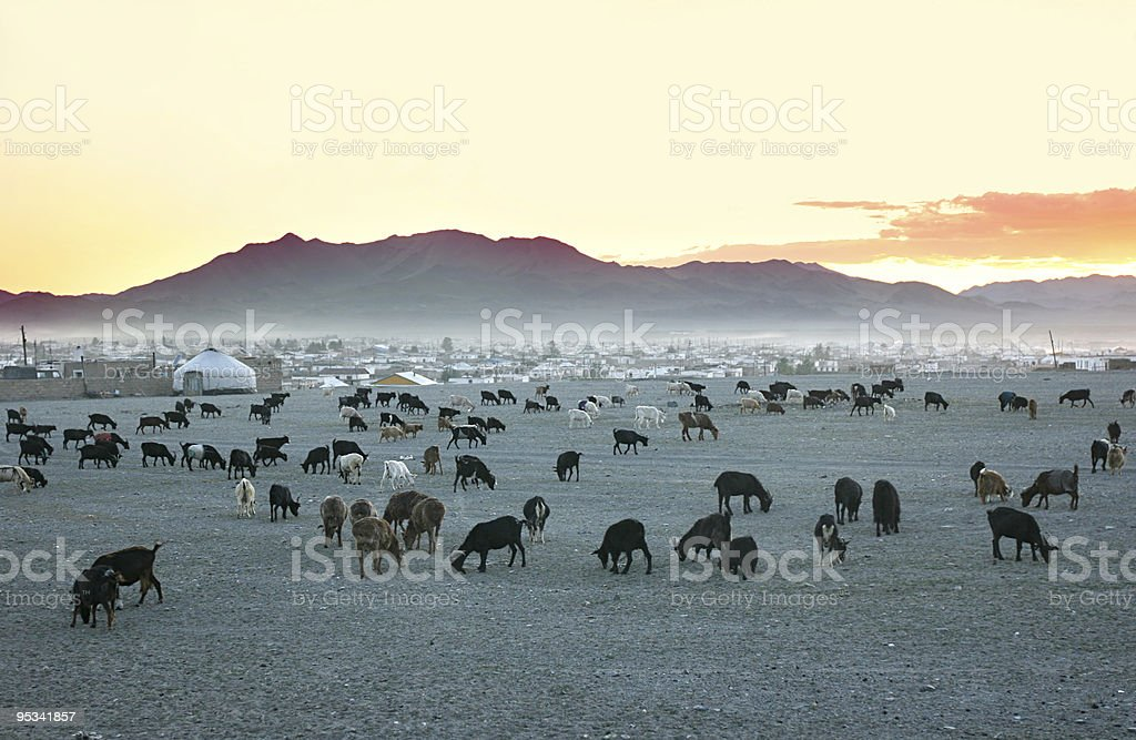 Herd of goats stock photo