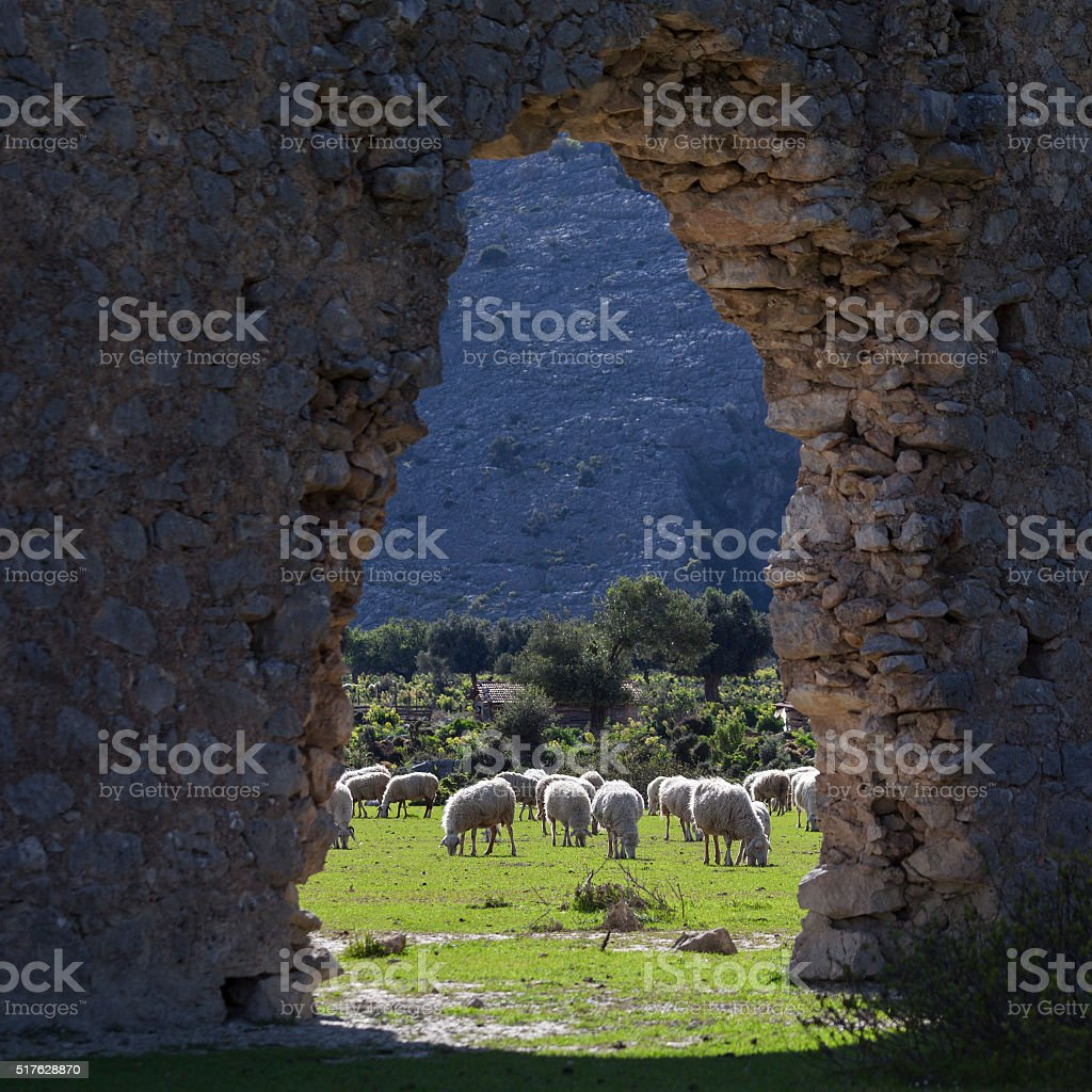 Herd Of Grazing Sheeps Seen In Historaical Remain stock photo