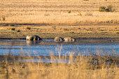 Herd of hippos, Pilanesberg National Park, South Africa
