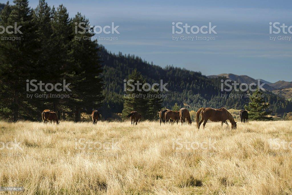 Manada de caballos en el país foto de stock libre de derechos