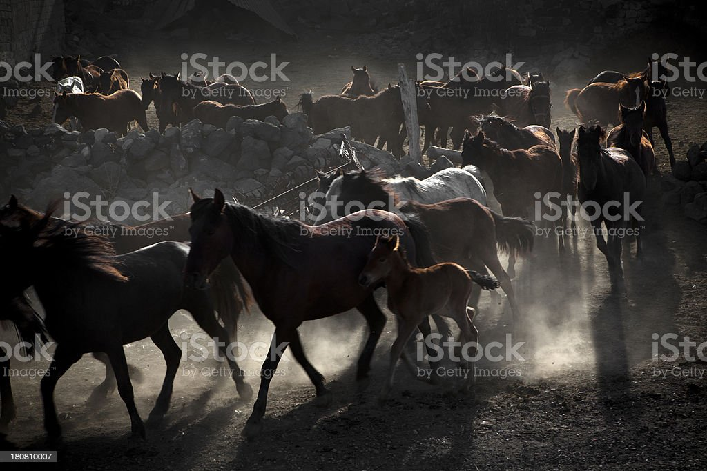 Herd of horse royalty-free stock photo
