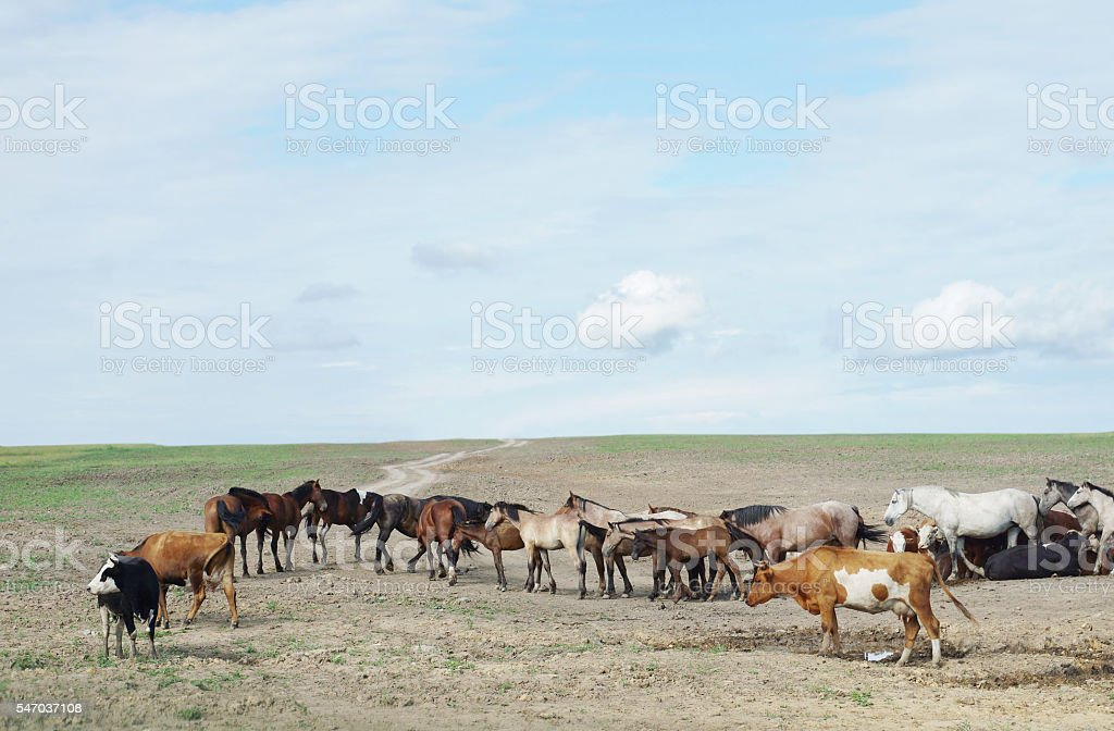 Herd of horses and cows in a dry steppe stock photo