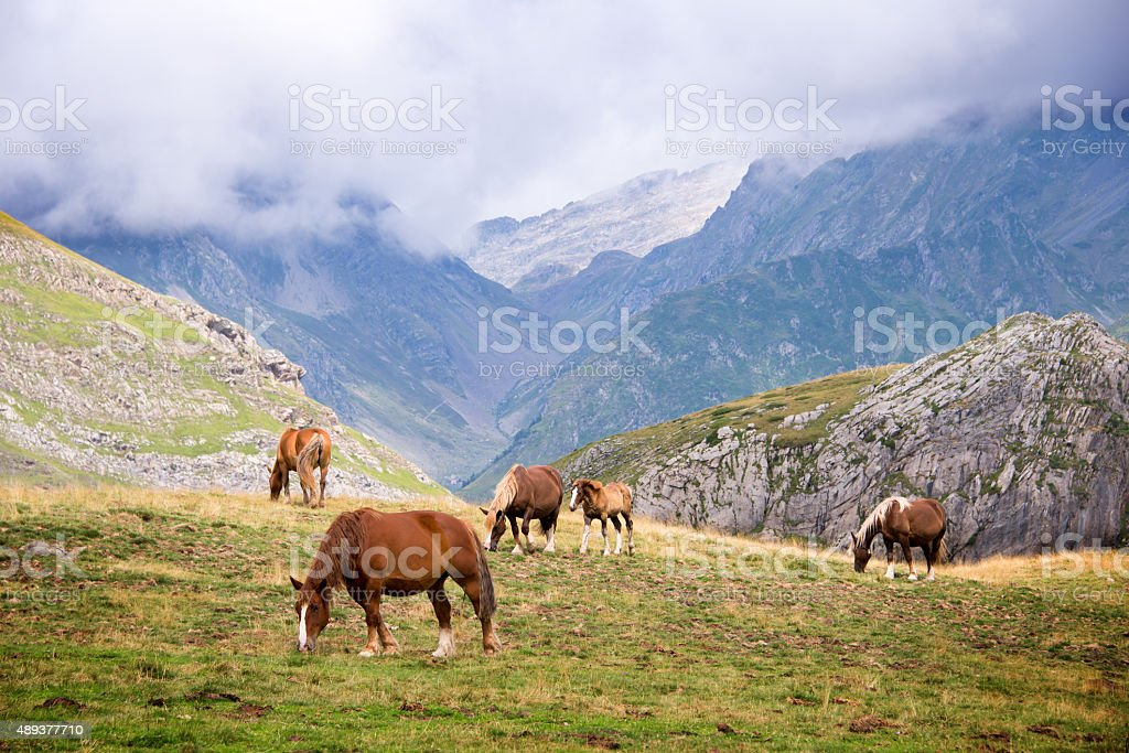 Herd of horses grazing in the Pyrenees, France stock photo