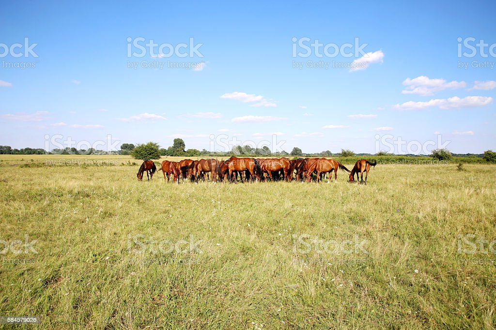 Herd of horses grazing on green meadow panoramic view stock photo