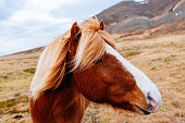 Herd of horses in Iceland, on Saefellsnes peninsula in North