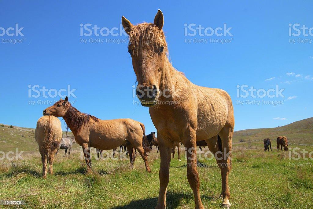 Herd of horses royalty-free stock photo