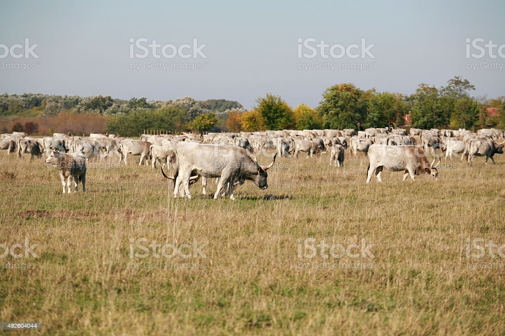 Herd of  hungarian grey steppe cattle grazing on meadow stock photo