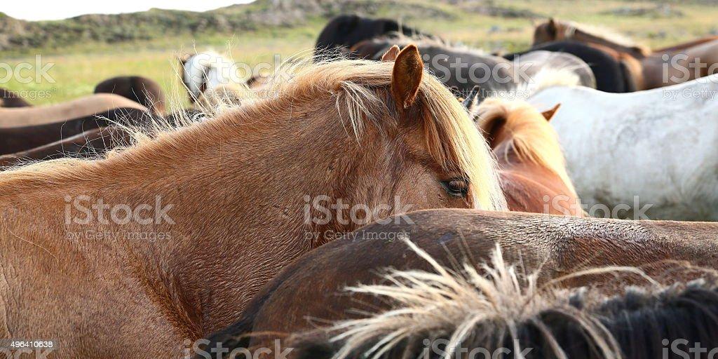 herd of icelanidic horses stock photo