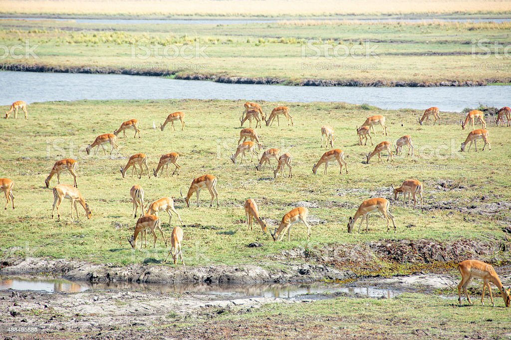 Herd of Impala along the River stock photo