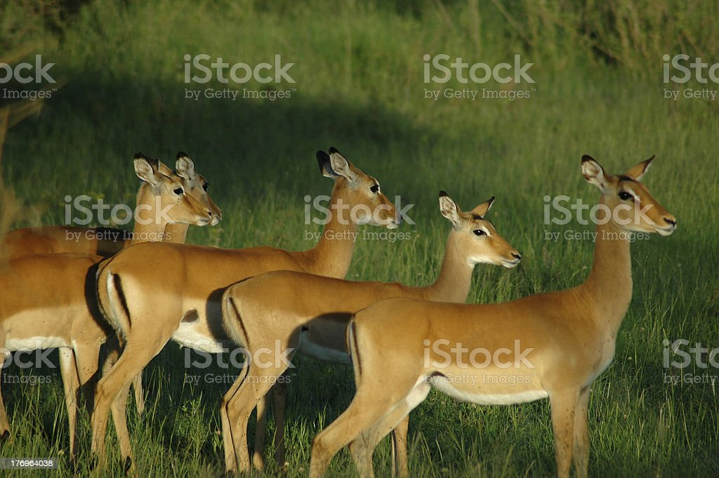 herd of impala royalty-free stock photo