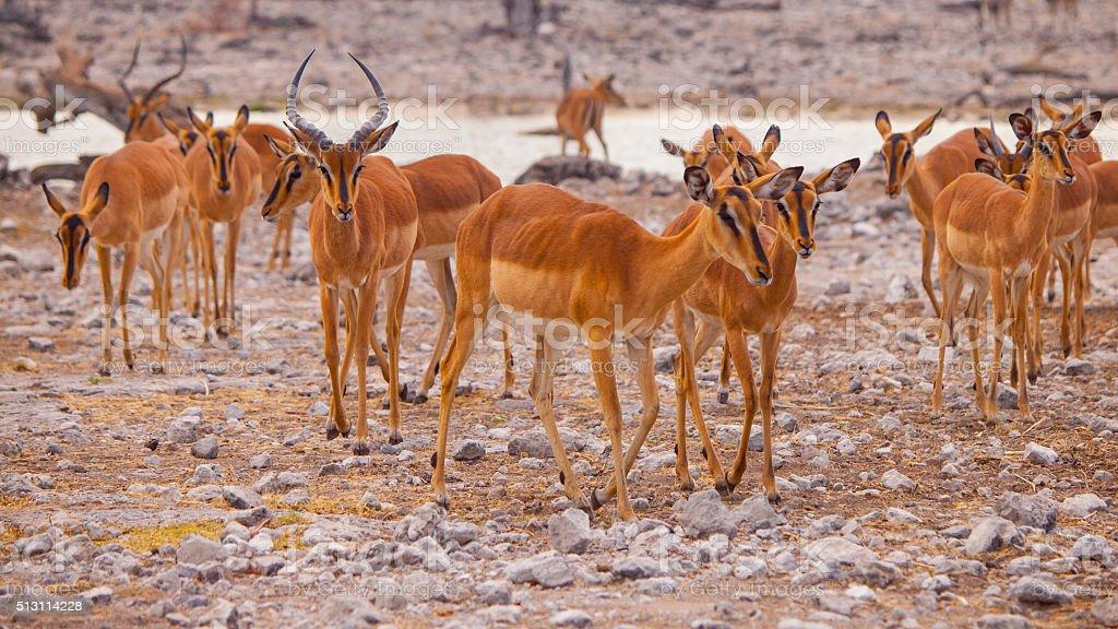 Herd of impalas at waterhole stock photo