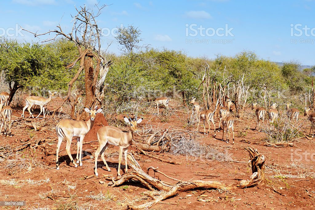 Herd of impalas in Madikwe Game Reserve,South Africa stock photo