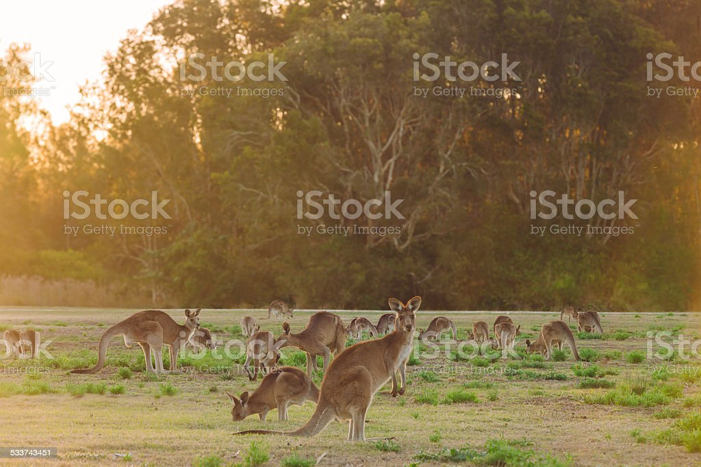 Herd of kangaroos at twilight stock photo