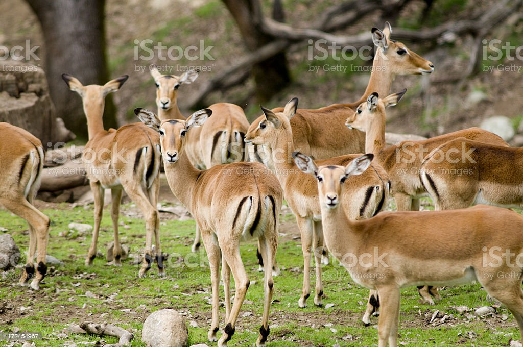 Herd of Kenyan Impala royalty-free stock photo
