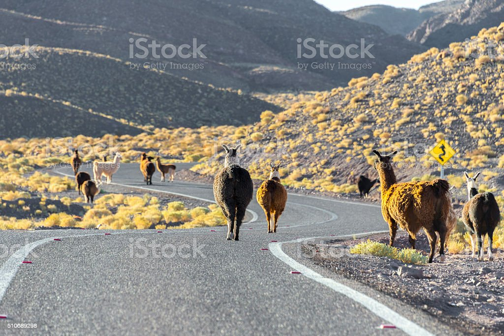 Herd of llamas crossing the road, Chile stock photo