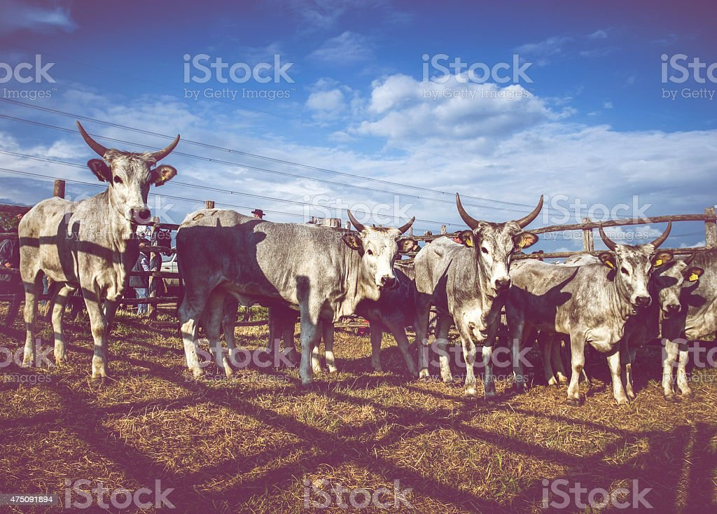 Herd of Maremman Cows and the Butteri Cowboys stock photo