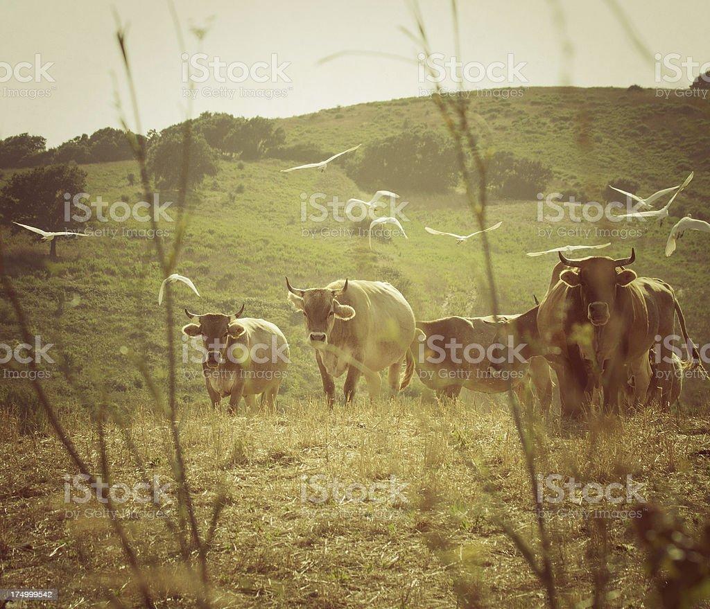 Herd of Maremman Cows stock photo