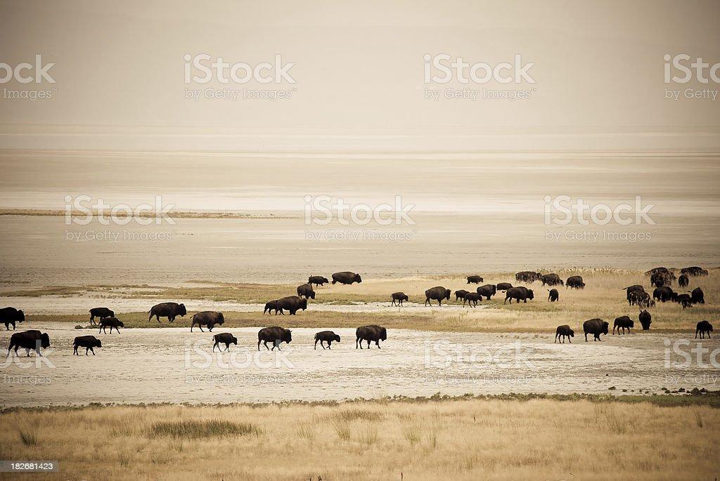 Herd of migrating buffalo stock photo