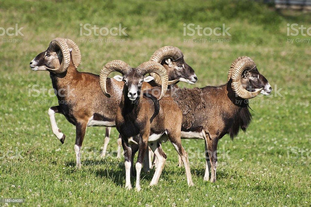 Herd of mouflons (ovis musimon) stock photo