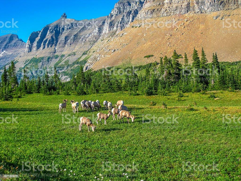 Herd of Mountain Goats stock photo