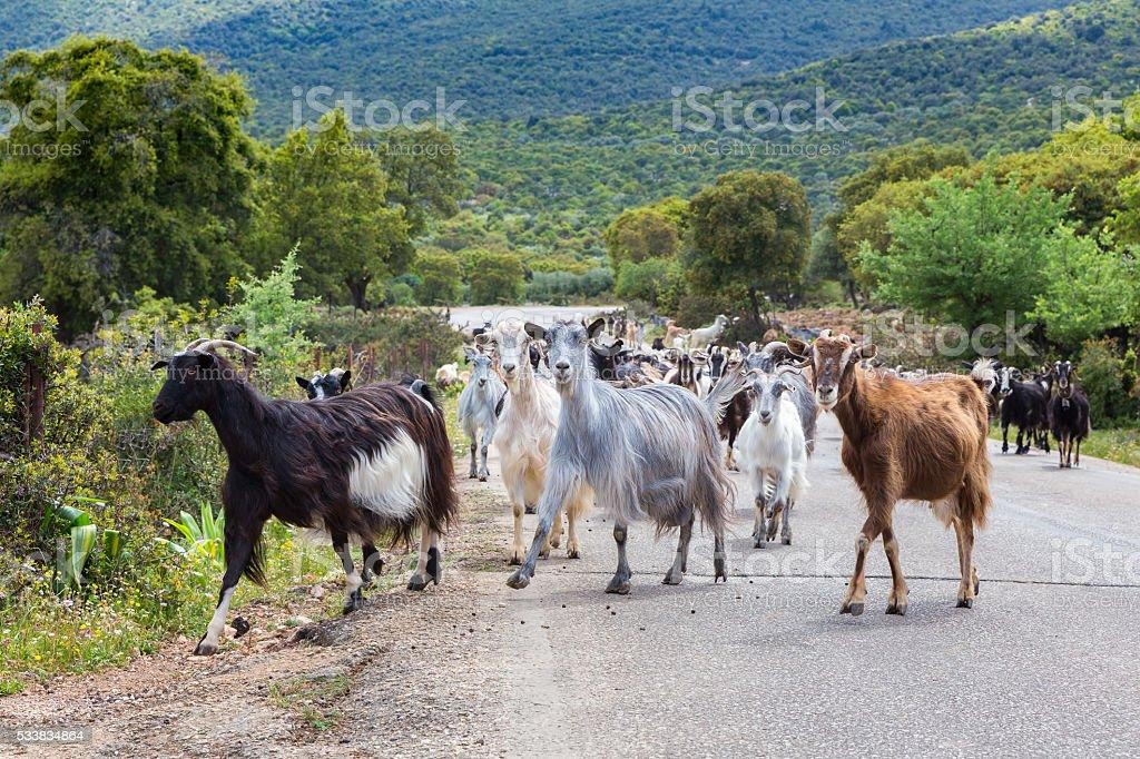 Herd of mountain goats walking on road stock photo