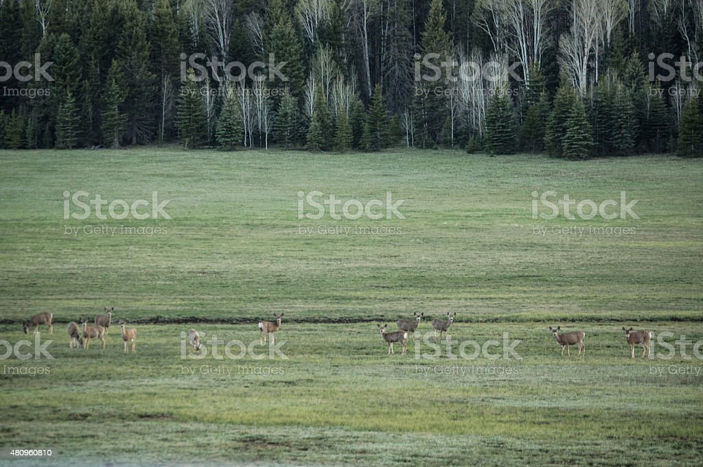 Herd of Mule Deer at Grand Canyon royalty-free stock photo