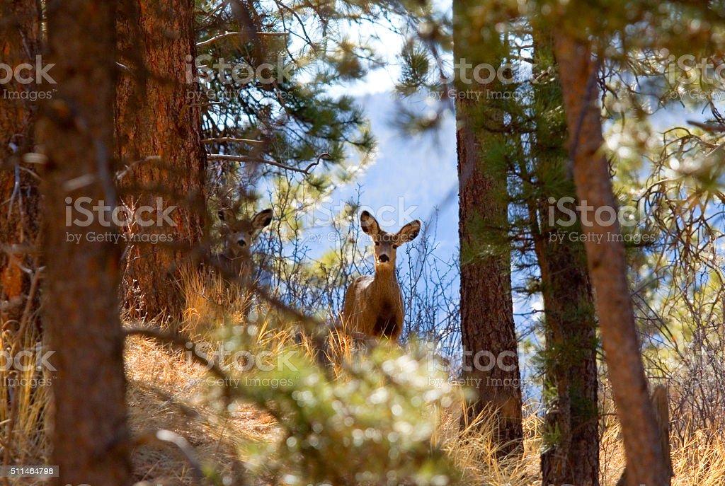 Herd of Mule Deer Does in Winter Snow stock photo