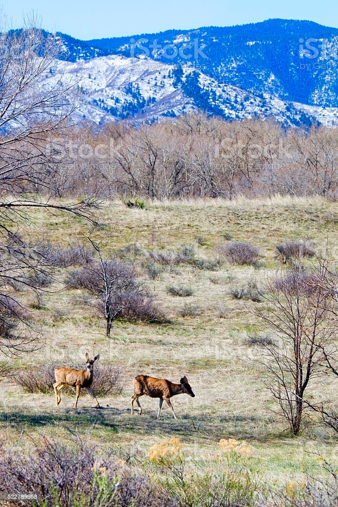 Herd of Mule Deer Grazing at Chatfield stock photo