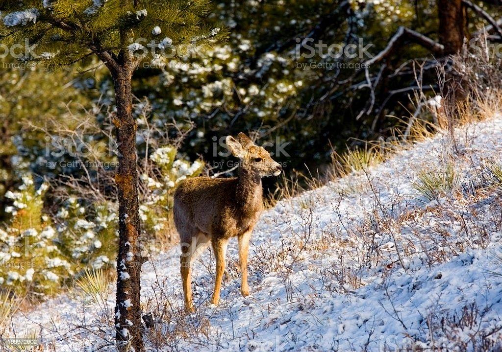 Herd of Mule Deer in Colorado Winter Snow royalty-free stock photo
