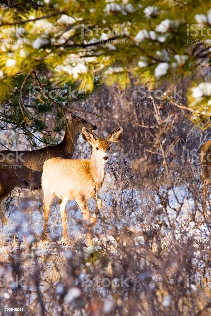 Herd of Mule Deer in the Colorado Wintertime Snow royalty-free stock photo