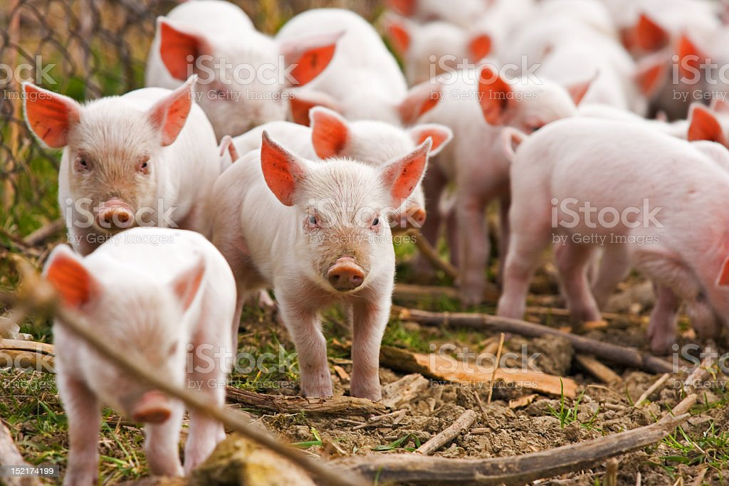 A herd of piglets walking through the forest royalty-free stock photo