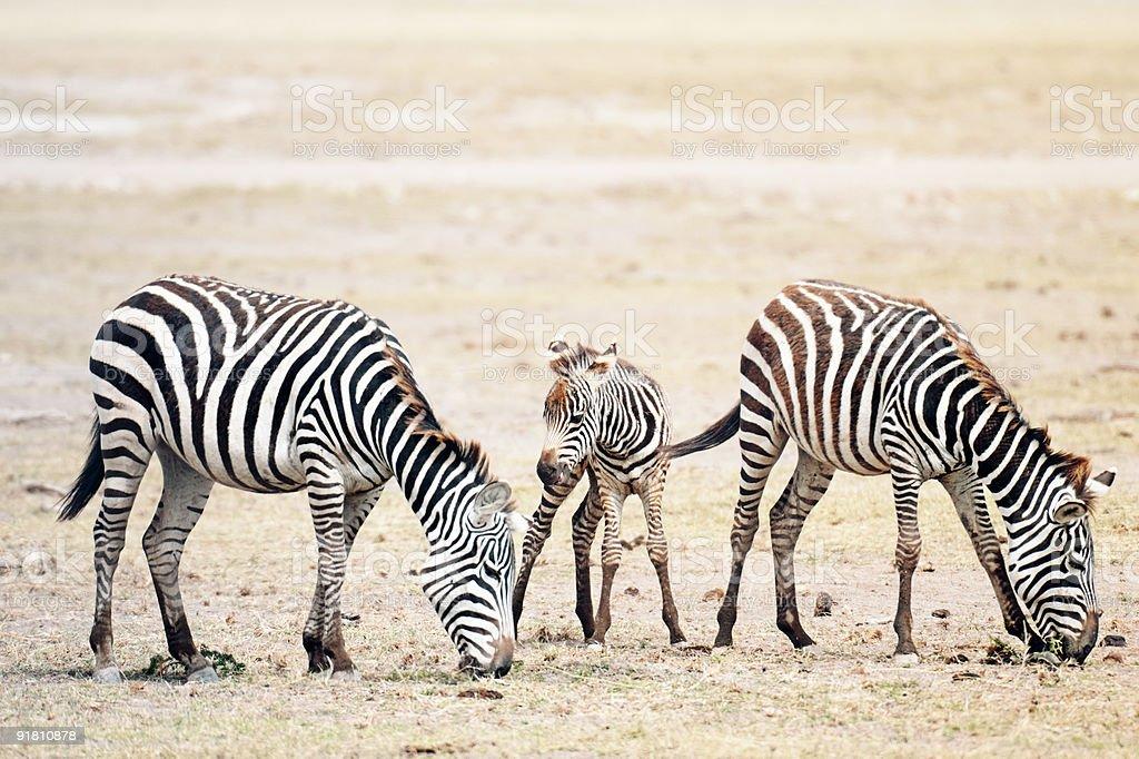 Herd of Plains Zebras stock photo